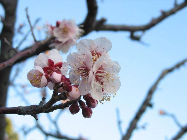 Sakura%202006.jpg